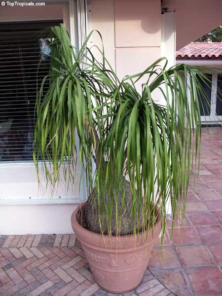 Beaucarnea Recurvata Nolina Recurvata Ponytail Palm