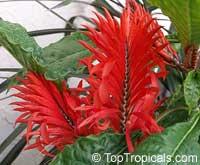 Aphelandra tetragona, Aphelandra cristata, Red Aphelandra  Click to see full-size image