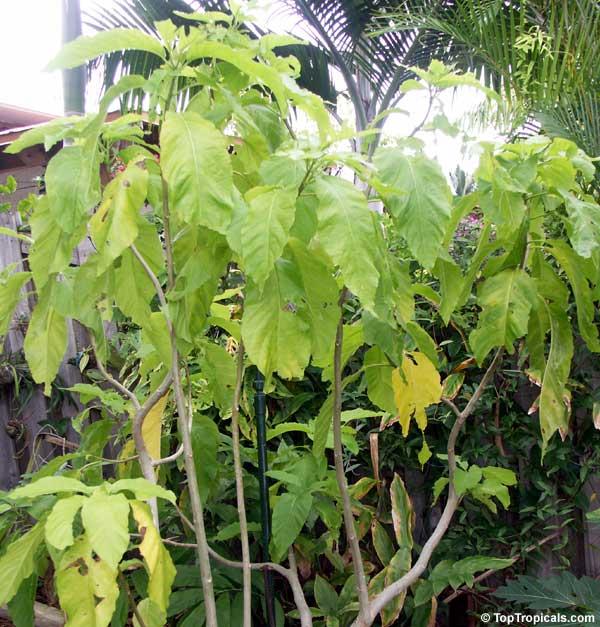 Pisonia alba, Pisonia brunoniana, Lettuce tree, Cabbage tree