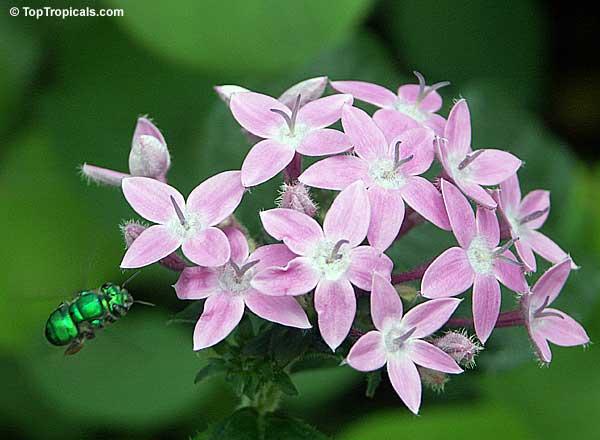 Pentas Lanceolata Pentas Star Flower Star Cluster Toptropicals