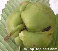 Dillenia indica, Dillenia speciosa, Elephant Apple, Chulta, Hondapara Tree, Ma-tad  Click to see full-size image