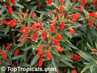 Seemannia sylvatica, Gloxinia sylvatica, Bolivian Sunset Gloxinia  Click to see full-size image