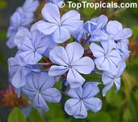 Plumbago auriculata Imperial Blue  Click to see full-size image