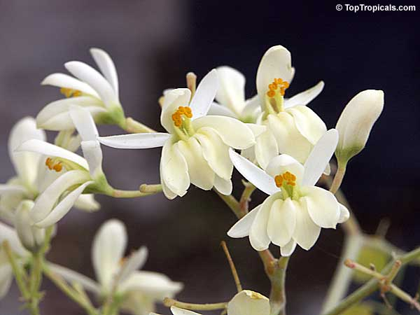 moringa oliefera  horseradish tree