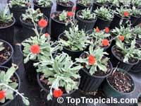 Senecio fulgens, Kleinia fulgens, Orange thistle, Coral senecioClick to see full-size image