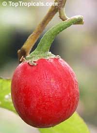Solanum melongena, Tropical Eggplant, Asian Eggplant  Click to see full-size image