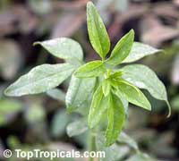 Jasminum stephanense, Jasminum beesianum hybrid, Pink Hybrid Jasmine  Click to see full-size image
