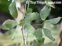 Pithecellobium guatemalensis, Pithecellobium dulce, Sweet Tamarind, Manila Tamarind, HuamuchilClick to see full-size image