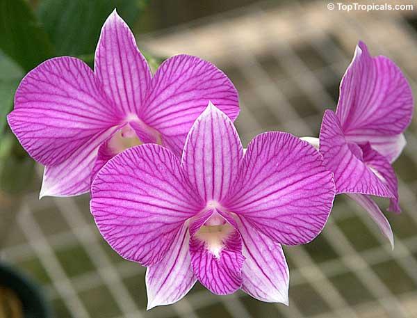 Dendrobium x Phalaenopsis, Dendrobium Stripe Thailand