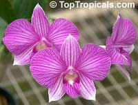 Dendrobium x Phalaenopsis 'Stripe Thailand', Dendrobium 'Stripe Thailand'  Click to see full-size image