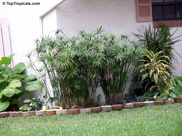 Cyperus alternifolius umbrella sedge galingale papyrus for Indoor gardening meaning
