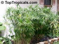 Cyperus alternifolius, Umbrella Sedge, Galingale, Papyrus  Click to see full-size image
