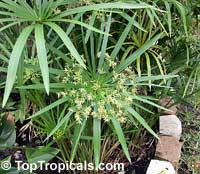 Cyperus alternifolius, Umbrella Sedge, Galingale, Papyrus