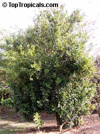 Macadamia integrifolia, Macadamia nutClick to see full-size image