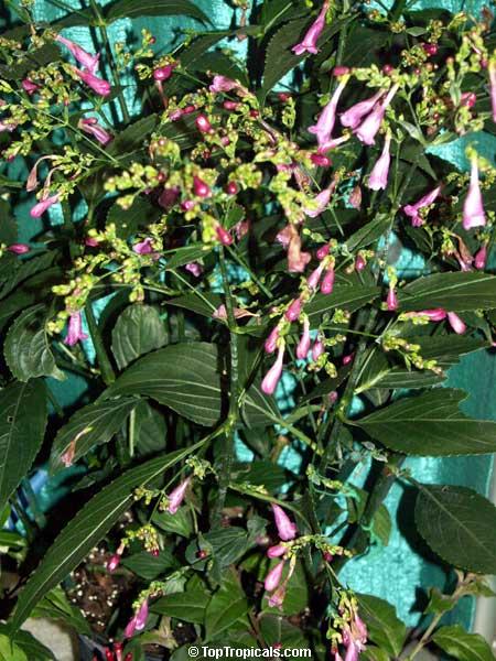 Strobilanthes Flaccidifolius, Strobilanthes Cusia, Pink Strobilanthes,  Chinese Rain Bell, Vein Leaf Acanthus