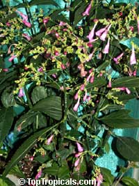 Strobilanthes flaccidifolius, Strobilanthes cusia, Pink Strobilanthes, Chinese Rain Bell, Vein Leaf Acanthus  Click to see full-size image