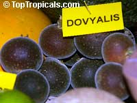 Dovyalis hebecarpa, Dovyalis abyssinica, Tropical Apricot, Ketembilla, Ceylon Gooseberry  Click to see full-size image