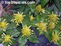 Schaueria calycotricha, Schaueria flavicoma, Justicia flavicoma, Golden Plume  Click to see full-size image