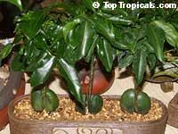 Castanospermum australe, Black Bean, Moreton Bay Chestnut  Click to see full-size image
