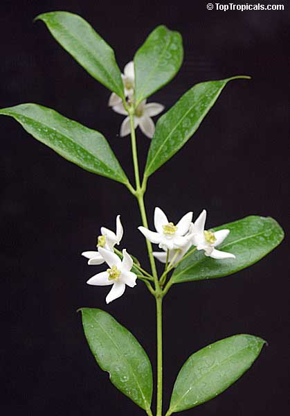 Hoya Odorata Wax Plant Toptropicals Com