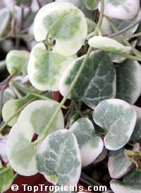 Ceropegia woodii variegata, String of Hearts, Chain of Hearts, Rosary Vine, Hawaiian potato ball, Hearts entangled