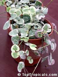 Ceropegia woodii variegata, String of Hearts, Chain of Hearts, Rosary Vine, Hawaiian potato ball, Hearts entangled  Click to see full-size image