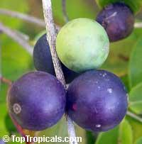 Myrciaria vexator - Blue Jaboticaba  Click to see full-size image