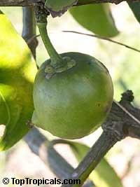Garcinia xanthochymus, Garcinia tinctoria, Himalayan Garcinia, False mangosteen, GambogeClick to see full-size image