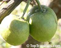 Garcinia xanthochymus, Garcinia tinctoria, Himalayan Garcinia, False mangosteen, Gamboge  Click to see full-size image