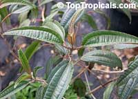 Tetrazygia bicolor, West Indian Lilac, Florida clover ash  Click to see full-size image