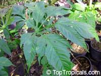 Osmoxylon novoguineense, Osmoxylon, Miagos bush, Fuzzy Wrinkle, Oldmans Hand  Click to see full-size image