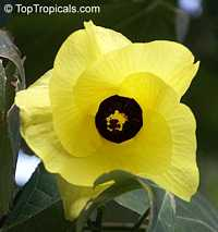 Thespesia Portica Asiatica, Asian Portoe, Dwarf Asian Portia, Sea Hibiscus  Click to see full-size image