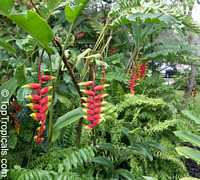 Heliconia rostrata, Bihai rostrata, Lobster Claw, Parrot's beakClick to see full-size image