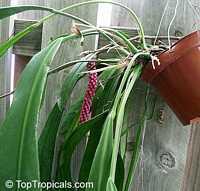 Anthurium vittarifolium, AnthuriumClick to see full-size image