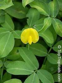Arachis glabrata - Ornamental Peanut  Click to see full-size image
