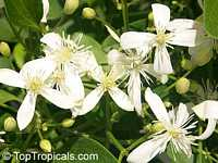 Clematis terniflora, Sweet Autumn ClematisClick to see full-size image