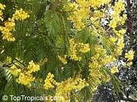 Peltophorum pterocarpum, Caesalpinia ferruginea, Caesalpinia inermis, Inga pterocarpum, Peltophorum inerme, Golden Flamboyante, Yellow Flame Tree, Yellow Poinciana, Copper pod tree, Copperpod  Click to see full-size image