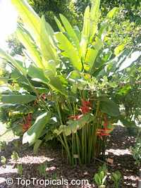 Heliconia x rauliniana, Heliconia Paradise  Click to see full-size image