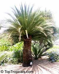 Macrozamia moorei, Encephalartos moorei, Cycad  Click to see full-size image