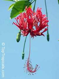 Hibiscus schizopetalus, Coral Hibiscus, Skeleton Hibiscus, Chinese Lantern, Japanese Lantern, Fringed HibiscusClick to see full-size image