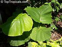 Coccoloba sp., Coccoloba  Click to see full-size image