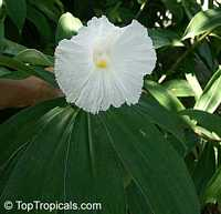 Costus speciosus, Cheilocostus speciosus, Spiral Ginger, Crepe Ginger  Click to see full-size image