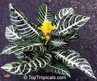 Aphelandra squarrosa, Zebra PlantClick to see full-size image
