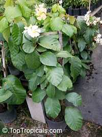 Chonemorpha penangensis, Frangipani Vine  Click to see full-size image
