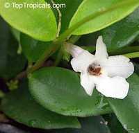 Codonanthe gracilis, Codonanthe