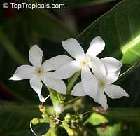 Kopsia sp., White Oleander  Click to see full-size image