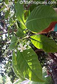 Tabernaemontana pandacaqui, Banana BushClick to see full-size image