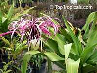 Crinum sp., River Lily  Click to see full-size image