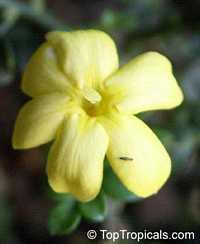 Jasminum parkeri, Himalayian Bonsai  Click to see full-size image