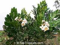 Radermachera Kunming, Dwarf Tree Jasmine, Peep ThongClick to see full-size image